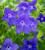 Browallia speciosa 'Blue Bells'