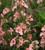 Diascia barberae 'Blackthorn Apricot'