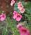 Diascia barberae 'Ruby Field'