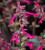 Salvia 'Salmia Dark Purple'