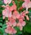 Salvia x jamensis 'California Sunset'