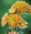 Chrysanthemum 'Rossano Elizabeth'