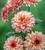 Chrysanthemum 'Pip Salmon'