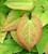 Epimedium x warleyense 'Orange Queen'