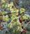 Helleborus foetidus (Wester Flisk Group)