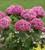 Hydrangea arborescens 'BellaRagazza Mauvette'