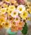 Polyanthus 'Stella Buck's Fizz' F1