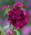 Dianthus barbatus 'Sweet Purple' F1