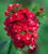 Dianthus barbatus 'Sweet Scarlet' F1