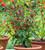Chilli Pepper 'Bolivian Rainbow'
