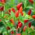 Chilli Pepper 'Prairie Fire'
