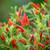 Chilli Pepper 'Demon Red'