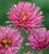 Chrysanthemum 'Tula Purple'