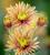 Chrysanthemum 'Tula Zoraya'