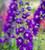 Delphinium elatum 'Aurora Deep Purple'