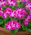 Pelargonium 'Pinkerbell' (Regal)