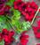 Pelargonium 'Dark Venus' (Regal)