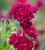 Pelargonium 'Tommy' (Ivy)