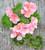 Pelargonium 'Emilia' (Zonal)