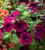 Petunia 'Easy Wave Burgundy Velour' F1