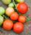Tomato 'Cocktail Crush'