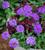 Verbena peruviana 'Endurascape Blue'