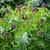 Broccoli 'Claret' (Purple Sprouting)