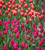Aphrodite' and 'Time Out' Tulip Collection