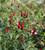 Fuchsia microphylla 'David'