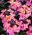 Erysimum 'Monet's Moment'