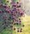 AGM Allium Collection