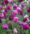 Crème de Cassis Tulip Mix