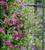Clematis 'Purpurea Plena Elegans' (Viticella Group)