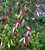 Fuchsia magellanica 'Arauco'