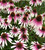 Echinacea x 'Pretty Parasols' ('JS Engeltje')