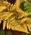 Dryopteris wallichiana 'Jurassic Gold'