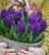 Hyacinthus orientalis 'Aida'