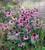 Echinacea purpurea 'Magnus Superior'