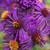 Aster novi-belgii 'Purple Dome'