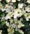 Hydrangea paniculata 'Polestar'