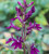 Lobelia x speciosa 'Hadspen Purple'