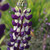 Lupinus 'Purple Emperor'