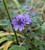 Malva sylvestris var. mauritiana 'Primley Blue'