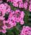 Phlox paniculata 'Herbstwalzer'