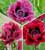 New York Poppy Collection