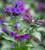 Pulmonaria angustifolia 'Diana Clare'