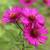 Symphyotrichum novae-angliae 'Septemberrubin'