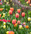 Sweetie Shop Tulip Collection
