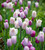 Pink Moonlight Tulip Collection