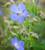 Meadow Cranesbill (Geranium pratense)